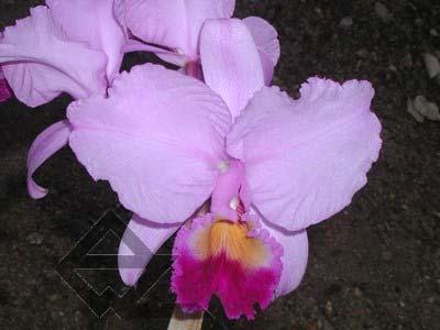 Cattleya trianae tipo 'Fine Variety' (98-8) x Cattleya trianae 'India' (10-8)
