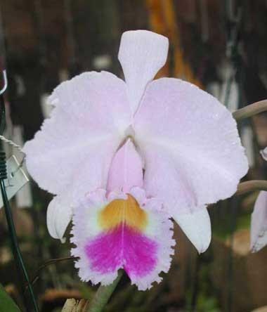 Cattleya trianae 'Waldemar Silva' (27-8) x Cattleya trianae lab. escuro-integro 'Monte Verde'