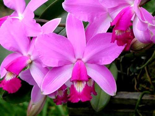 Cattleya violacea rubra flamea 'Alcebiades' XXX x Cattleya violacea tipo 'Rondonia' XXX