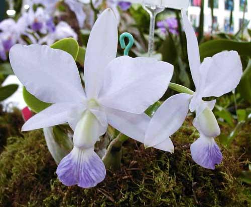 Cattleya walkeriana alba x coerulea