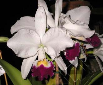 Cattleya warneri semi alba 'Aline' x Cattleya warneri semi alba integra orlata