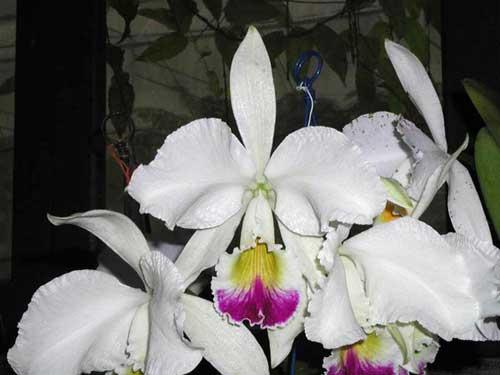 Cattleya warneri semi alba 'Alto Sapucaia' x Cattleya warneri semi alba 'Guindani'