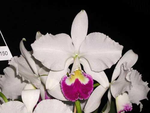 Cattleya warneri semi alba 'Itabirana' (Z-30) x Cattleya warneri semi alba orlata