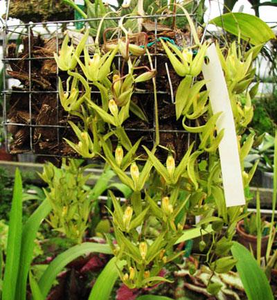 Cirrhaea loddigesii