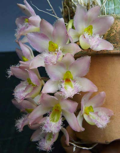 Clowesia rossi