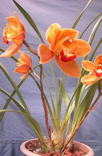Cymbidium Hazel Fay 'Tangerine'