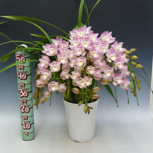 Cymbidium Lucky Flower 'Ammitsu Hime'