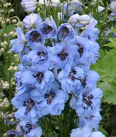 Delphinium elatum Moonlight Blues