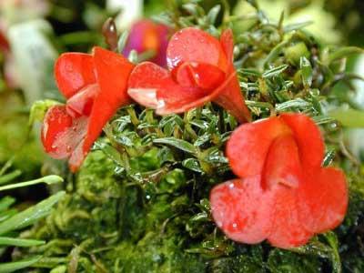 Dendrobium agathodaemonis