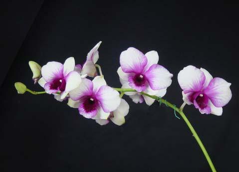 Dendrobium Apichart Rainbow x compactum