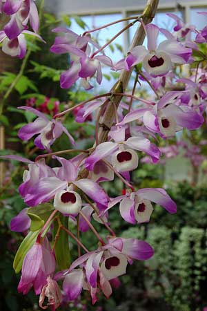 Dendrobium Cybelle
