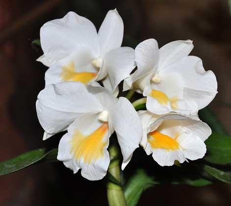 Dendrobium formosanum 'Giant'