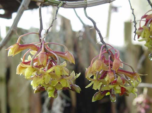 Dendrobium guerreroi