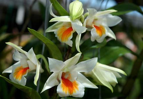 Dendrobium Hiroshi