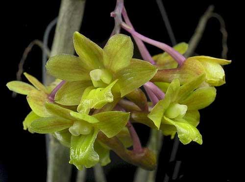 Dendrobium ionopus