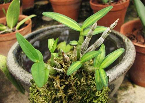 Dendrobium moniliforme Kanayama
