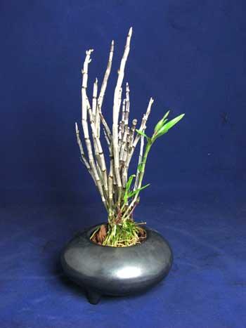 Dendrobium moniliforme Tenshikou