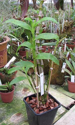 Dendrobium nobile giganteum