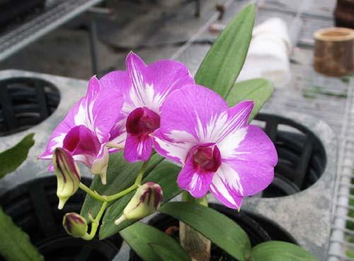 Dendrobium Phok Bong x Little Princess