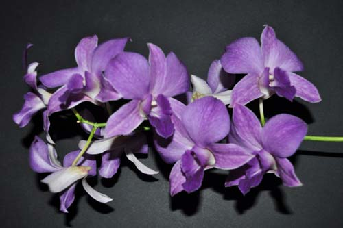Dendrobium  Sakda Blue