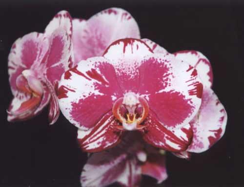 Doritaenopsis (Black Butterfly x Minho Stripes) 'Kitty Cat'