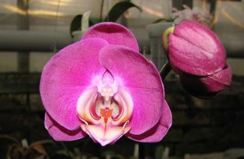 Doritaenopsis (Happy Smile x New Cinderella)