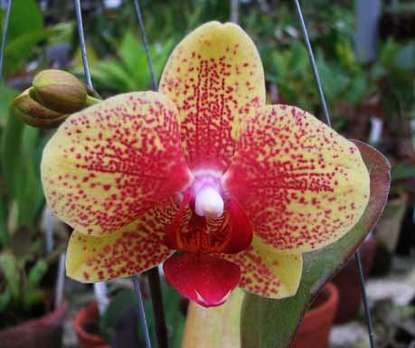 Doritaenopsis I-Hsin Golden Prince