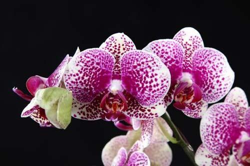 Doritaenopsis I-Hsin Sun Beauty