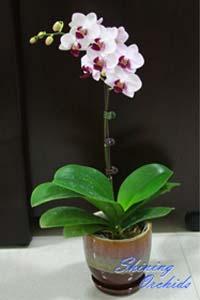 Doritaenopsis Little Gem Stripes 'No.1'