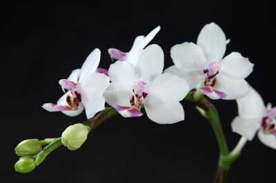 Doritaenopsis Sogo Chabstic
