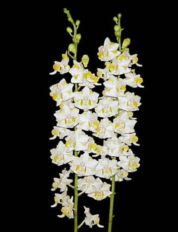 Doritis pulcherrima f. champorensis 'White'