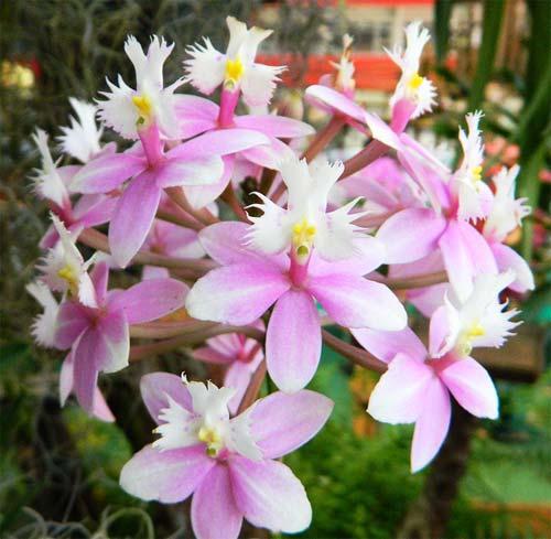 Epidendrum Mauve