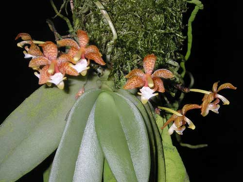 Grosourdya appendiculata