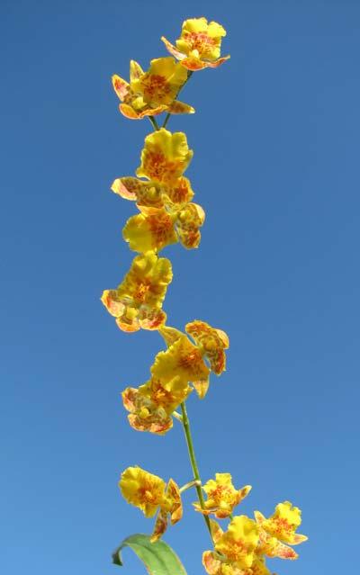 Howeara Chian-Tzy Lovely 'CT Golden Bug'