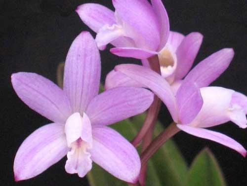 Laelia ghillanyi (clump)