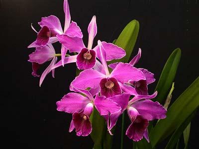 Laelia purpurata rubra-sanguinea 'Black' x Laelia purpurata sanguinea 'Cardeal'