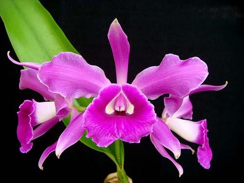Laelia purpurata russeliana 'Fábula' x Cattleya leopoldii 'Cetro de Esmeraldas'