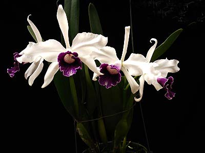 Laelia purpurata (Schusteriana x aco do Clito)