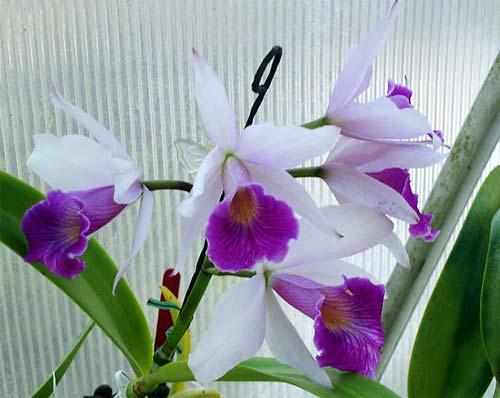 Laelia purpurata var. Russelliana x Cattleya Eldorado