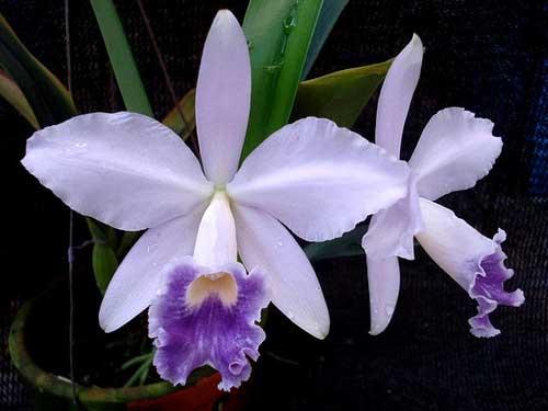 Laeliocattleya Cornelia coerulea