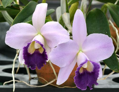 Laeliocattleya Mini Purple 'Blue Queen'