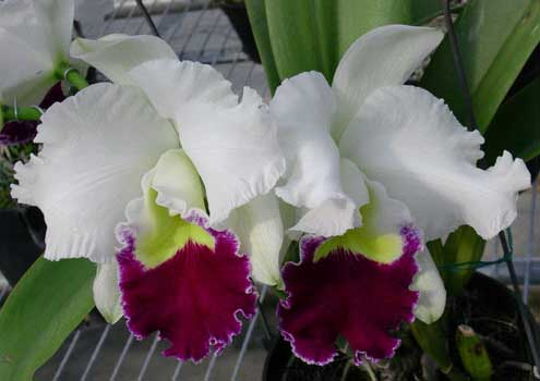 Laeliocattleya Orglade's Grand 'Yu Chang Beauty' (Mildred Rives x Persepolis)