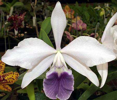 Laeliocattleya Tahoe Rose fma. coerulea 'G.C.' ( walkeriana x purpurata)
