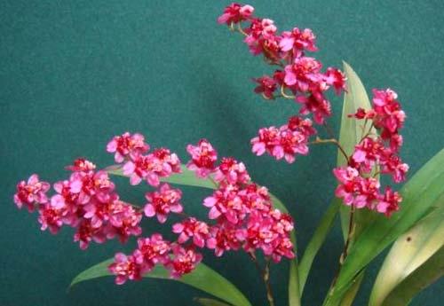 Oncidium Twinkle 'Chian-Tzy Delight'