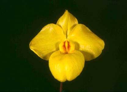 Paphiopedilum armeniacum 'Su'