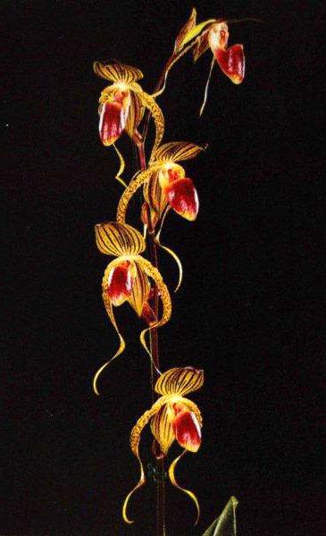 Paphiopedilum rothschildianum x gigantifolium
