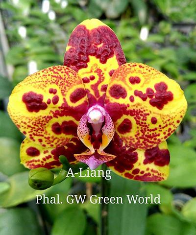 Phalaenopsis GW Green World