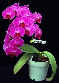 Phalaenopsis Hwafeng Redjewl 'Ruby'