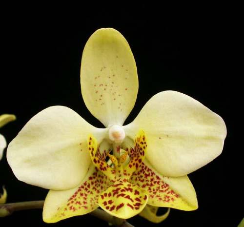 Phalaenopsis stuartiana yellow x sib