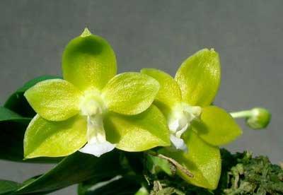 Phalaenopsis Su-An Cricket